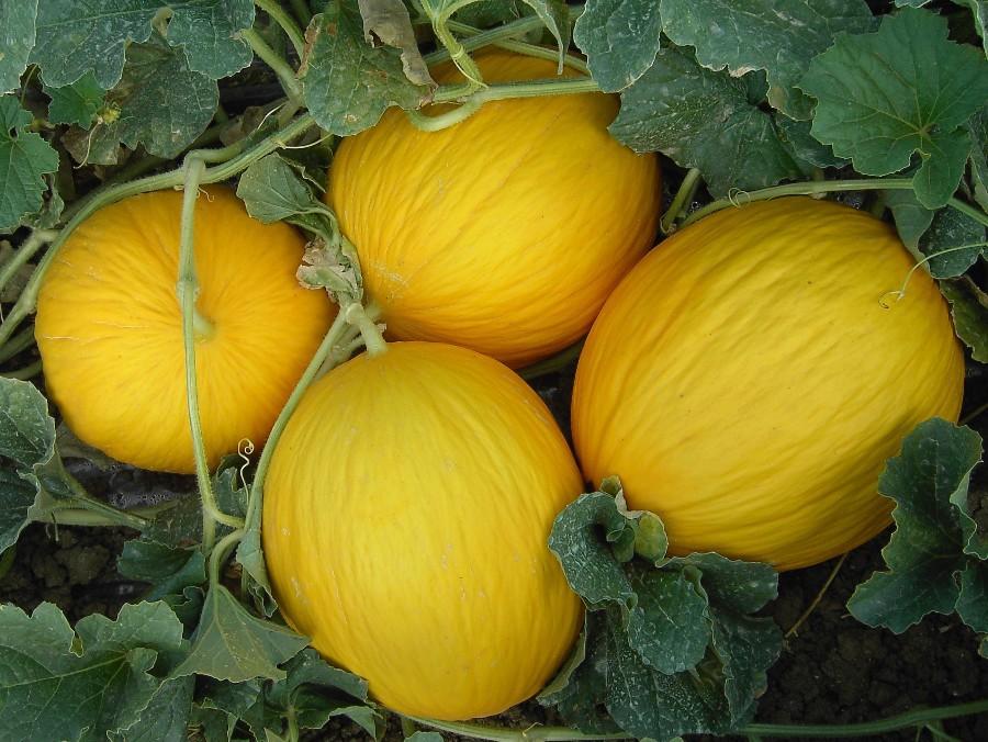 Az agr ortovivaistica le serre meloni for Pianta di melone
