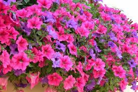 Az agr ortovivaistica le serre fiori e ornamentali for Surfinia inverno